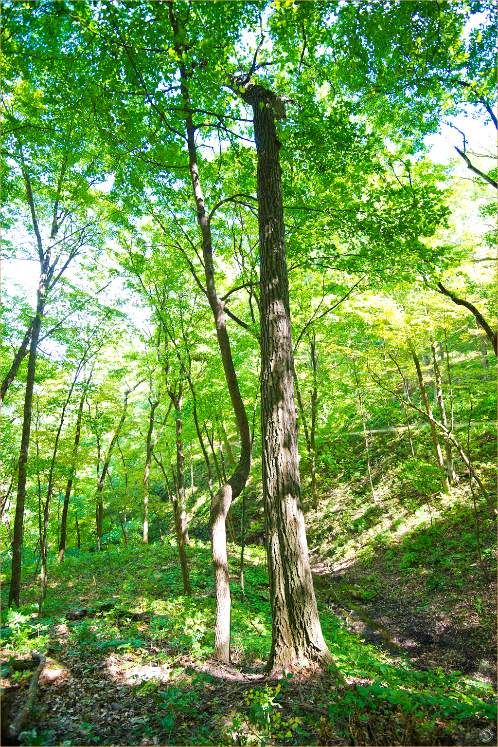 130 Wyalusing State Park Wisconsin Tree Form