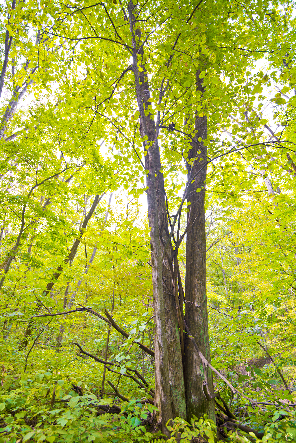 134 Wyalusing State Park Wisconsin Tree Form