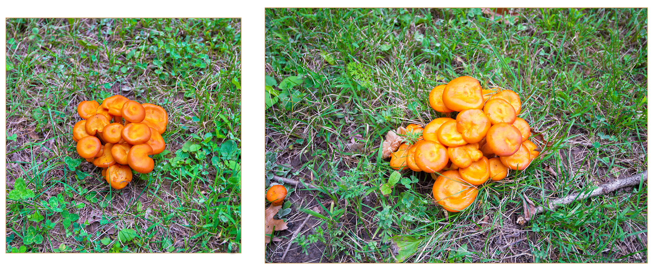 175 Wyalusing State Park Wild Orange Mushrooms