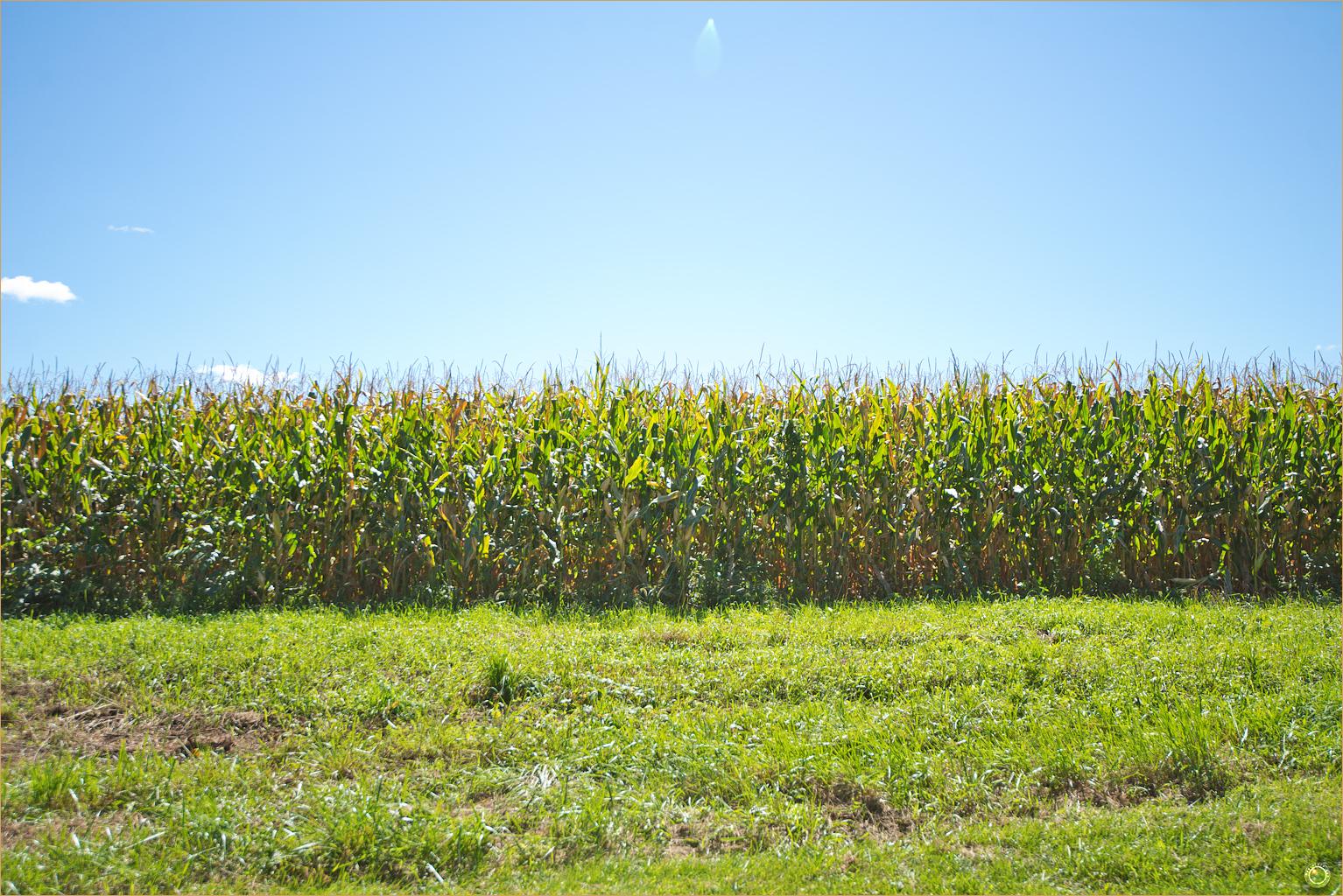 176 Wyalusing State Park Corn Field