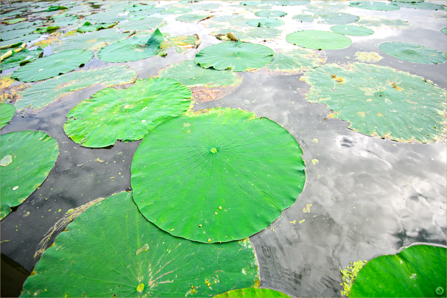 46 Wyalusing State Park Wisconsin Lily Pads