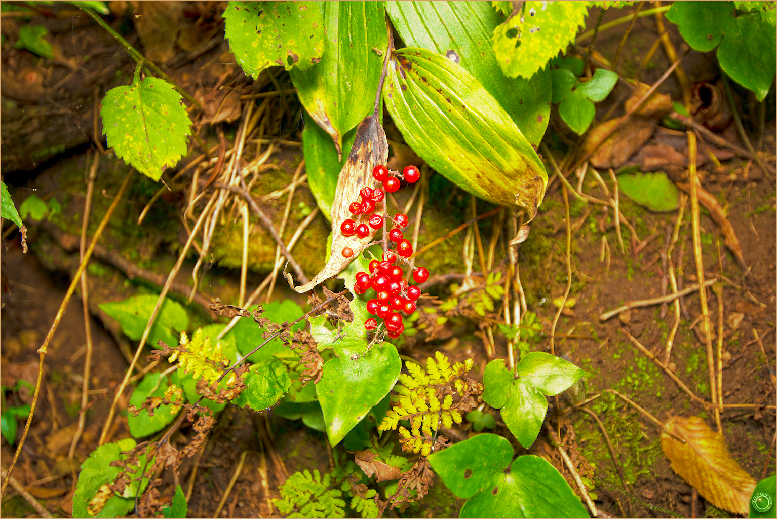 7 Wyalusing State Park Wisconsin Berries